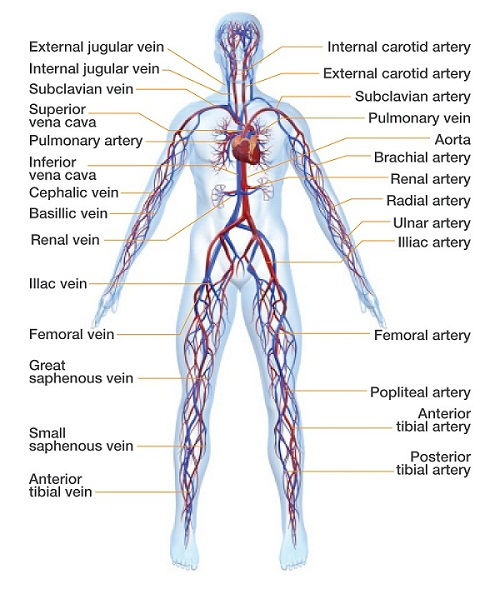 The Circulatory System Circulation Foundation
